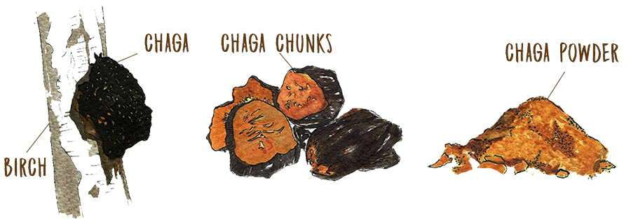 Chaga101: chaga raw, chunks and powder
