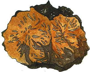 Drawed raw chaga