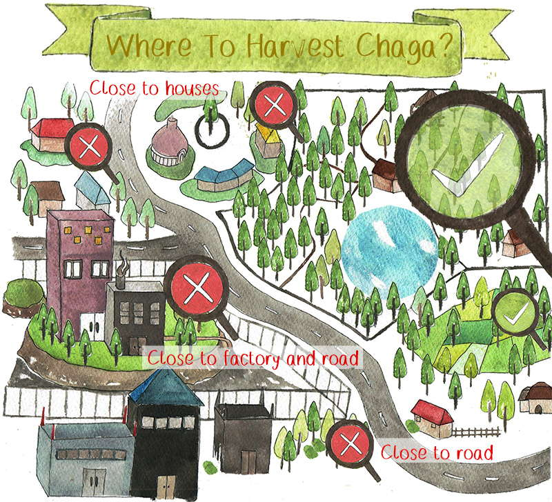 Where to harvest Chaga?