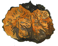 Chaga is one of the strongest antioxidants