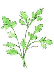 Cilantro has powerful antioxidant properties