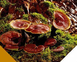 Reishi as Medicinal mushroom