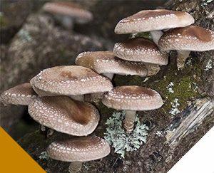 Shiitake Mushrooms as Medicinal mushrooms